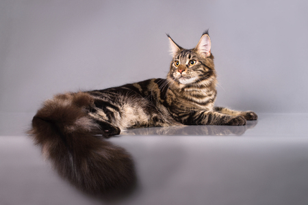 Brown Classic Torbie Maine coon cat lying on grey background Stock Photo