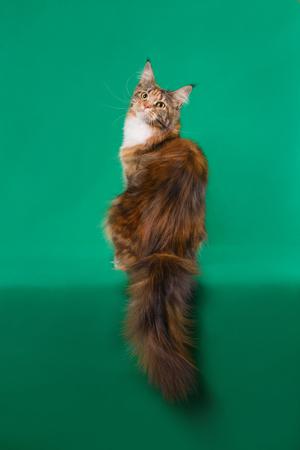 De bruine Klassieke Torbie Maine-zitting van de wasbeerkat terug op groene achtergrond die weelderige staart tonen