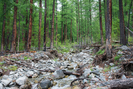 Forest of big larch trees and mountain river in summer day
