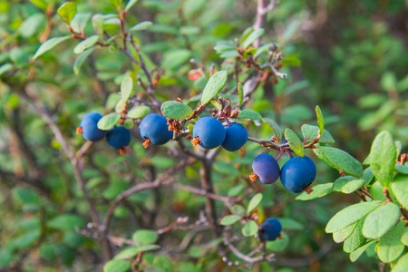 Healthy organic food - wild blueberries. Vaccinium myrtillus growing in forest closeup.