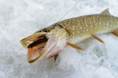 Just caught Pike with small bait fish in its mouth, ice winter fishing