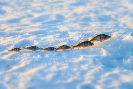 Perch fish group on blue ice. Winter fishing theme Reklamní fotografie