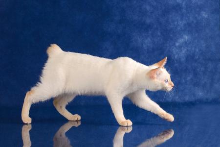 Playful Blue eyed Cat of Breed Mekong Bobtail sneaks on blue studio background Standard-Bild