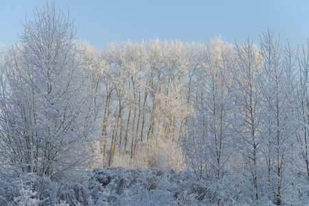 Winter wonderland. Trees in frost on the background of snowy forest.