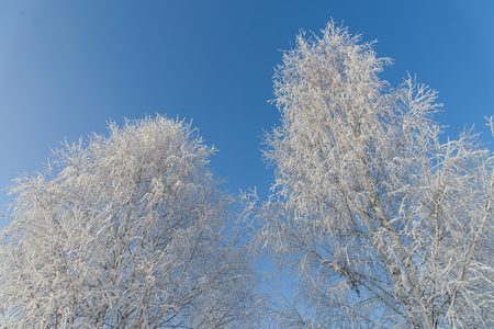 Winter wonderland. Frosty trees on blue sky.