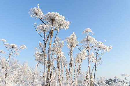 Winter scene, Hogweed covered with snow in the forest.