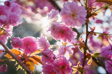 Spring blossom, sakura tree branch closeup, beautiful pink flowers on sun.