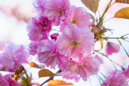 Spring blossom, sakura tree branch closeup, beautiful pink flowers on sun.