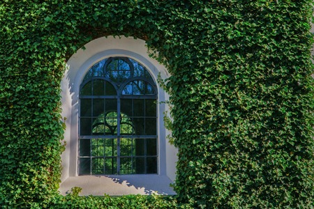 Facade with green wall and vintage window. Decorative garden of Ivy plant leaves.
