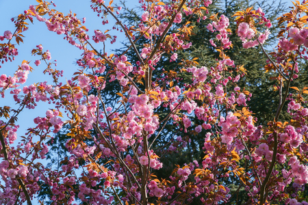 Spring cherry blossom, tree branches with beautiful pink flowers on sun, view up from below.