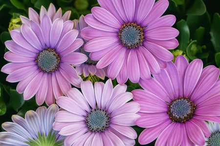 Beautiful fresh pink daisy flowers closeup, top view. Banco de Imagens