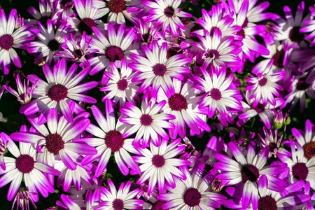 Beautiful fresh pink daisy flowers , top view. Banco de Imagens