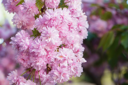 Spring blossom, sakura tree branch closeup, beautiful pink flowers on sun