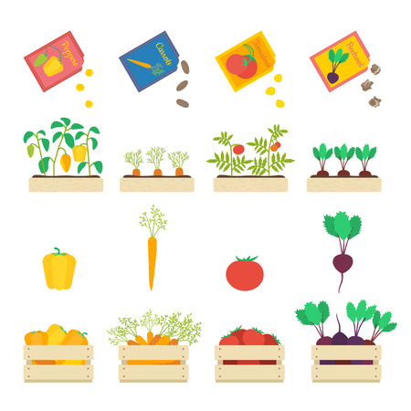 lug: Vector set of growing vegetables: seed grains, vegetable patches and wooden boxes with beetroot, carrot, tomato and yellow pepper.