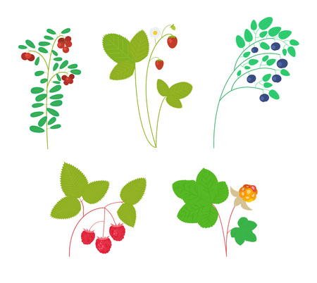 chicouté: Set of isolated wild berries on white background: cranberry, strawberry, blueberry, raspberry, cloudberry