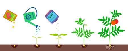 Ilustración vectorial de crecimiento de las plantas. Tomate creciendo etapas. Proceso de jardinería Foto de archivo - 84117229