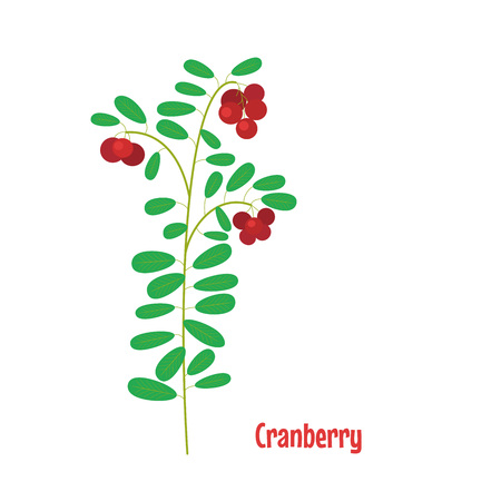 Cranberry. Isolated wild berries on white background. Vector illustration. Çizim