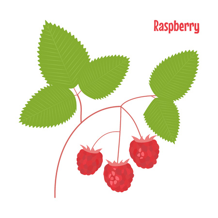 Raspberry. isolated wild berries on white background. Vector illustration. Çizim
