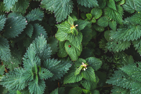 Top view of green Melissa bush with lush foliage and tiny blooms, Oxford, United Kingdom Standard-Bild - 121884168