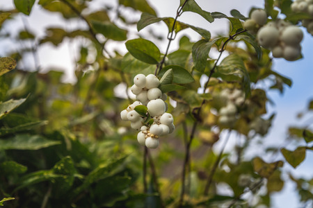 Symphoricarpos, commonly known as the snowberry, waxberry, or ghostberry in uk england Banque d'images