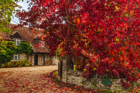 Aged trees with amazing burning red colored foliage on cobblestone terrace of country cottage in autumnal time, Oxford, United Kingdom