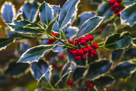 Closeup of holly bush branch with green leaves and bright red berries, Oxford, United Kingdom Standard-Bild - 121884194