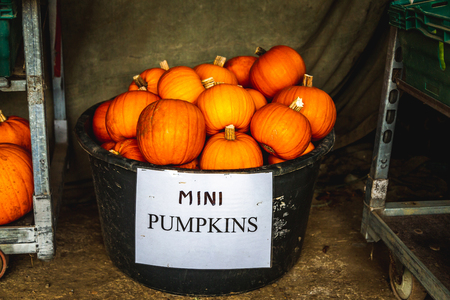 Big bucket filled with small ripe orange pumpkins with paper below saying Mini pumpkins on local market