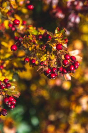 Tree branch with ripe berries and pale foliage in sunlight, Oxford, United Kingdom