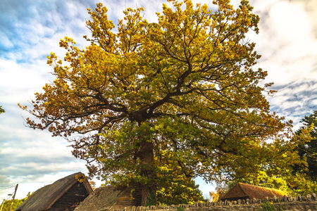 From below of old big tree with beautiful yellow-green foliage above rural houses, Oxford, United Kingdom