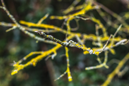 Closeup of leafless tree branch with twigs covered with colorful lichen 版權商用圖片