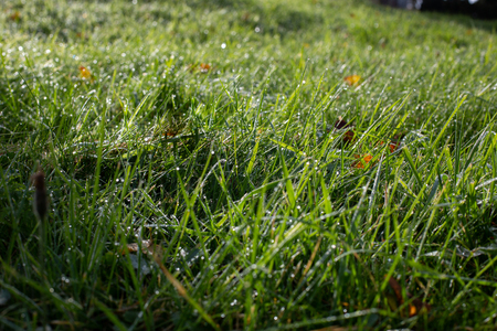 Lawn with lush bright green grass in clear drops of water