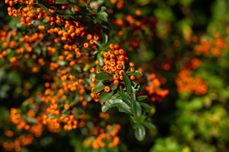 Beautiful lush pyracantha bush with green foliage and orange berries in sunlight, Oxford, United Kingdom