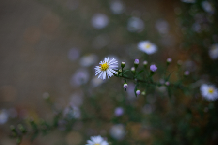 Small blooming flower of daisy on green stem growing on bush