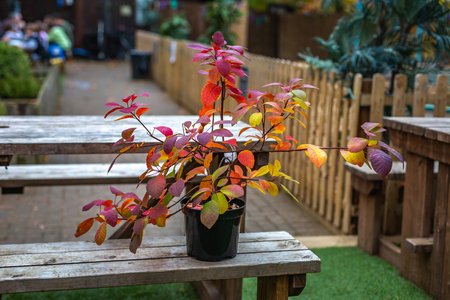 Plant with colorful foliage in flowerpot placed on wooden table in backyard, Oxford, United Kingdom Banque d'images