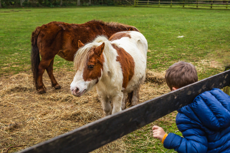 Little boy in outwear looking at beautiful small horses in rural paddock with fence, Oxford, United Kingdom