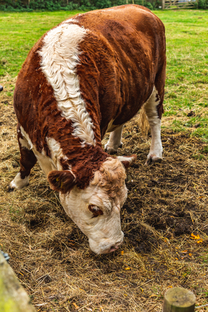 Cute hairy and curly cow feeding with grass on rural pasture with fence, Oxford, United Kingdom 版權商用圖片