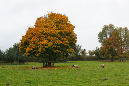 Autumnal country paddock lawn with colorful trees and pasturing cattle, Oxford, United Kingdom 版權商用圖片