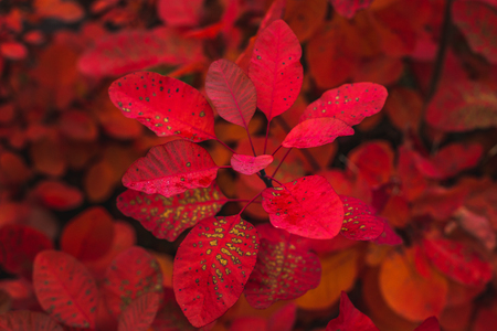 From above of majestic crimson colored foliage of plant in autumn season, Oxford, United Kingdom Banque d'images