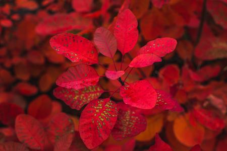From above of majestic crimson colored foliage of plant in autumn season, Oxford, United Kingdom Archivio Fotografico