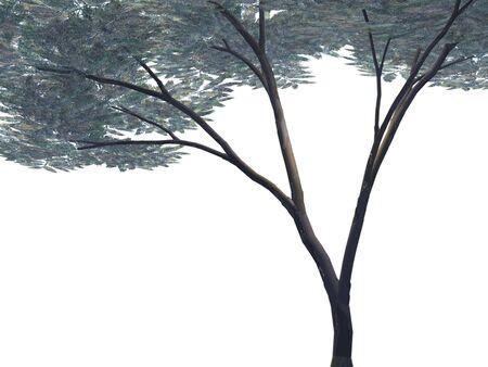 tree isolated: Umbrella Acacia Tree - Isolated Stock Photo