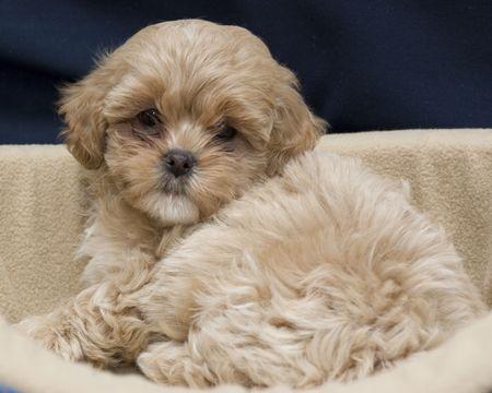 Cute Shih-Tzu Puppy