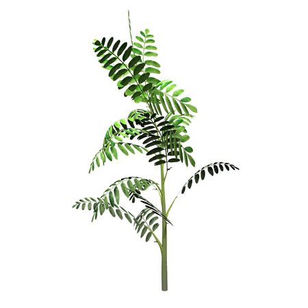 An isolated Robinia Pseudoacacia Seedling plant illustration.