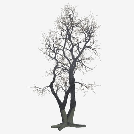 barren: An isolated barren winter tree. Stock Photo