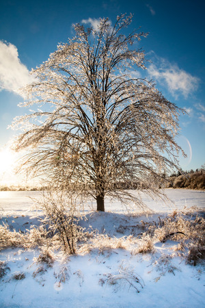 After an ice storm, the tree is covered in a layer of ice, which shows a sunlit glow in all of its branches Stock Photo