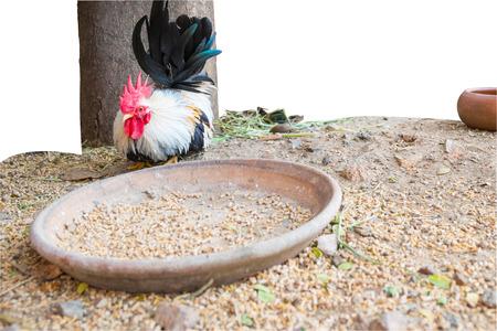 animal feed: black & white Bantam with animal feed ,  Chicken