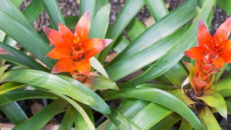 guzmania: Guzmania flowers or Bromeliads flowers in the garden Stock Photo