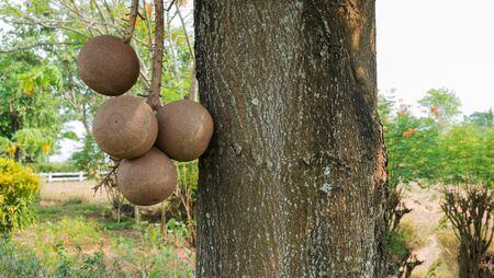 cannonball: Fruit of Cannonball tree, Sala tree, Sal tree Stock Photo