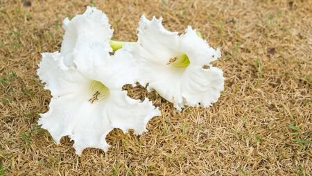 pituitary: White flowers background, White flower frame, Wild flowers cache., Herb for improve digestive system , pituitary and sleep Stock Photo