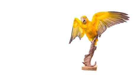 parrot macaw on white background, yellow parrot on stump