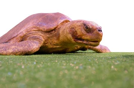 longevity: Isolated turtle on grass, Big turtle, Turtle is a symbol of longevity, strength, endurance.